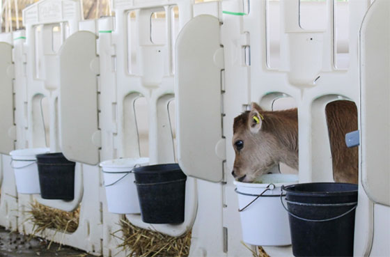 Young calves kept in crates after being separated from their mother: Image courtesy of Viva!